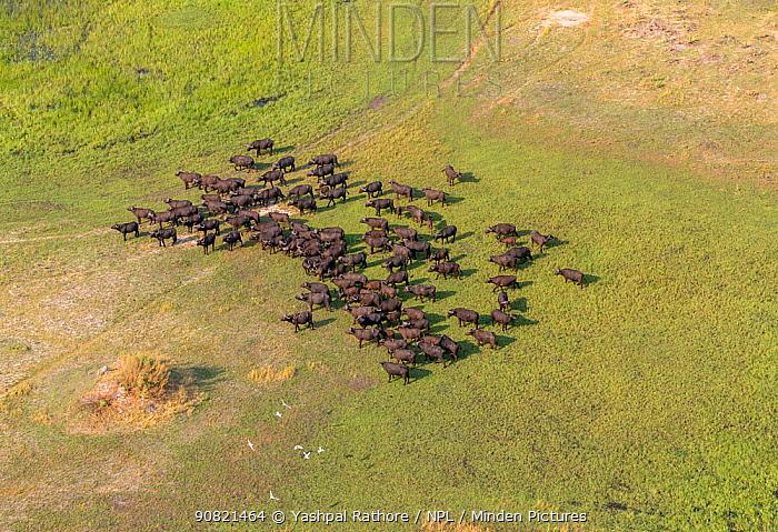 Cape buffalo (Syncerus caffer) herd in Okavango Delta, aerial view. Botswana.