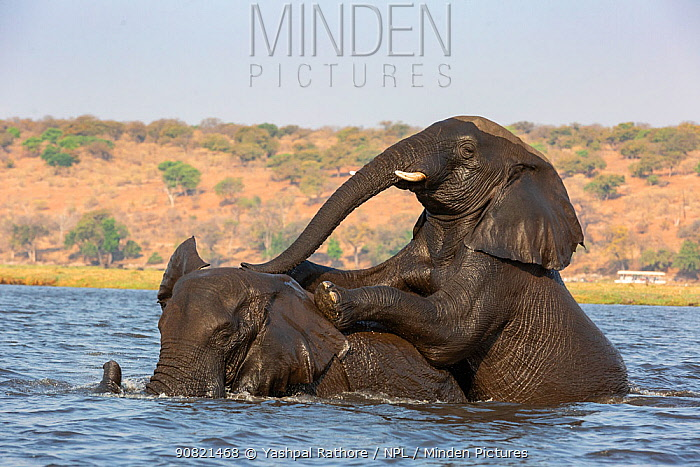 African elephant (Loxodonta africana), two playing in water, Chobe River, Chobe National Park, Botswana.