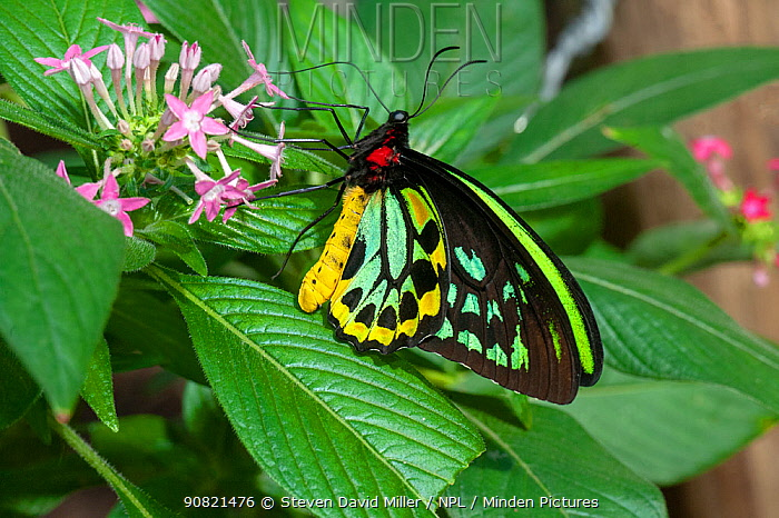 Cairns birdwing butterfly (Ornithoptera euphorion) male nectaring on flower. Kuranda Butterfly Sanctuary, North Queensland, Australia. Captive.