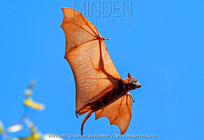 Little red flying fox (Pteropus scapulatus) flying in search of place to roost within camp. Nitmiluk National Park, Northern Territory, Australia.