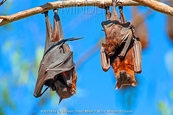 Little red flying fox (Pteropus scapulatus), two hanging from branch with suckling young. Nitmiluk National Park, Northern Territory, Australia.