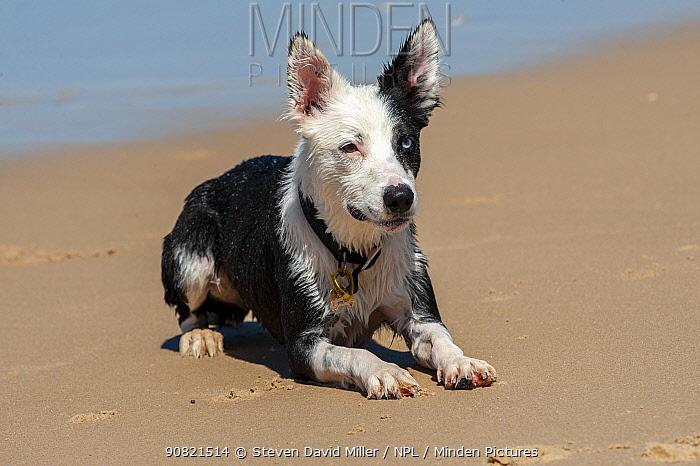 Australian shepherd dog lying down on Tallebudgera Beach, Gold Coast, Queensland, Australia.