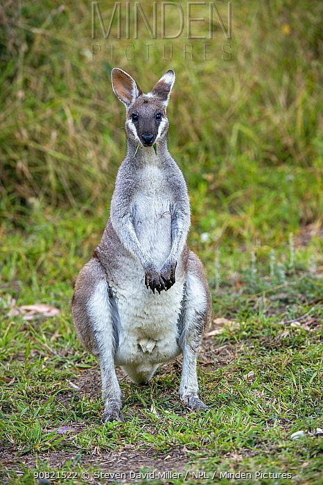 Whiptail wallaby (Macropus parryi). Carnarvon Gorge National Park, Queensland, Australia.