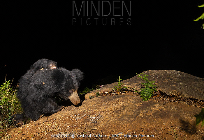 Sloth bear (Melursus ursinus) female and cubs, carrying cub on back. Nilgiri Biosphere Reserve, India. Camera trap image.