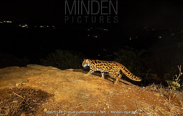 Leopard cat (Prionailurus bengalensis) on hillside, lights of rural settlements in background. Nilgiri Biosphere Reserve, India. Camera trap image.