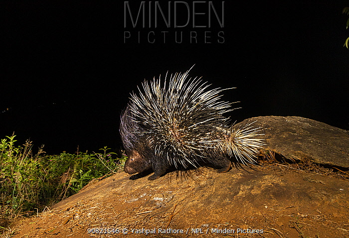 Indian crested porcupine (Hystrix indica) foraging at night. Nilgiri Biosphere Reserve, India. Camera trap image.