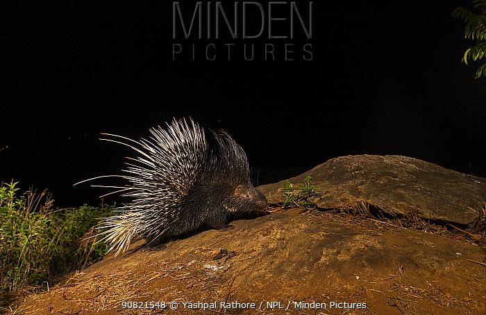 Indian crested porcupine (Hystrix indica) foraging at night. Nilgiri Biosphere Reserve, India. Camera trap image.