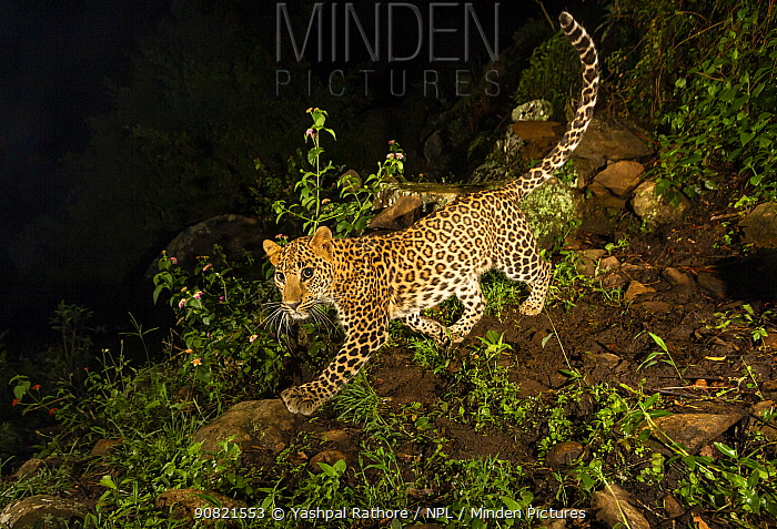Indian leopard (Panthera pardus fusca) sub-adult walking downslope. Nilgiri Biosphere Reserve, India. Camera trap image.