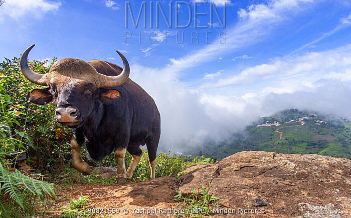 Gaur (Bos gaurus) male, valley with low cloud in background. Nilgiri Biosphere Reserve, India. Camera trap image.