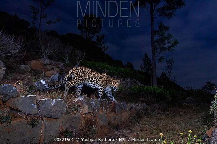 Indian leopard (Panthera pardus fusca) walking along terrace wall in tea plantation, at night. Nilgiri Biosphere Reserve, India. 2017. Camera trap image.