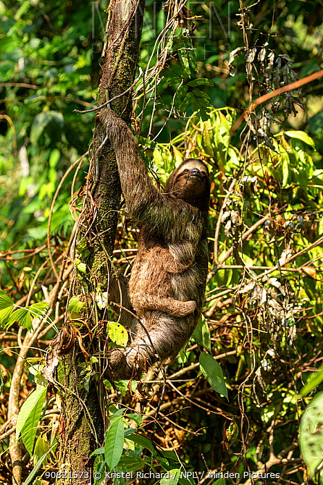 Brown-throated three-toed sloth (Bradypus variegatus) female and baby climbing tree in tropical rainforest. Corcovado National Park, Osa Peninsula, Costa Rica.