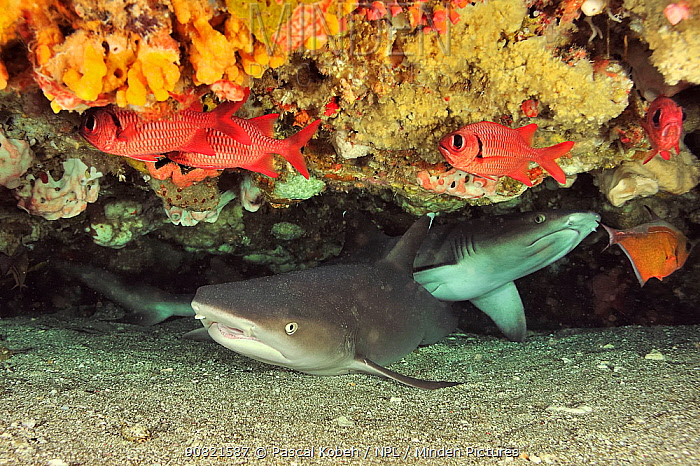White tip shark (Triaenodon obesus), two lying underneath ledge of coral reef. Flores Sea, Indonesia.