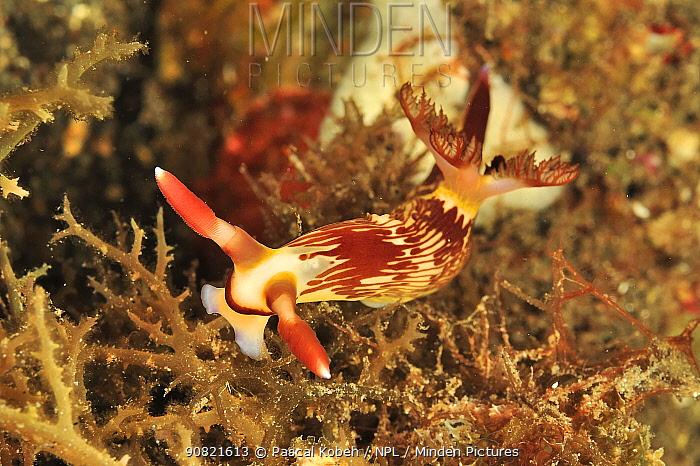 Fine lined slug (Nembrotha lineolata) feeding. Flores Sea, Indonesia.