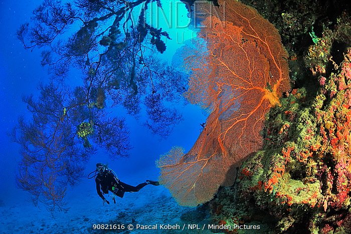 Giant seafan (Annella mollis) and Black coral (Antipathes sp) on coral reef drop off. Diver exploring in background. Moheli, Comoros. 2016.