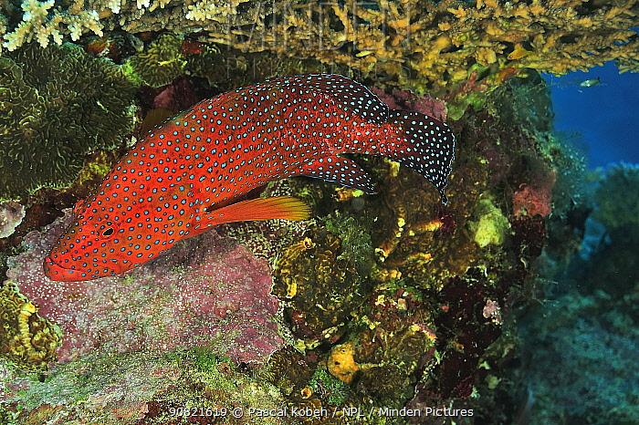 Coral hind (Cephalopholis miniata) in coral reef. Moheli, Comoros.