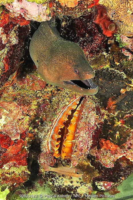 Giant moray (Gymnothorax javanicus), Variable thorny oyster (Spondylus varius) and Iridescent cardinalfish (Pristiapogon kallopterus). Moheli, Comoros.