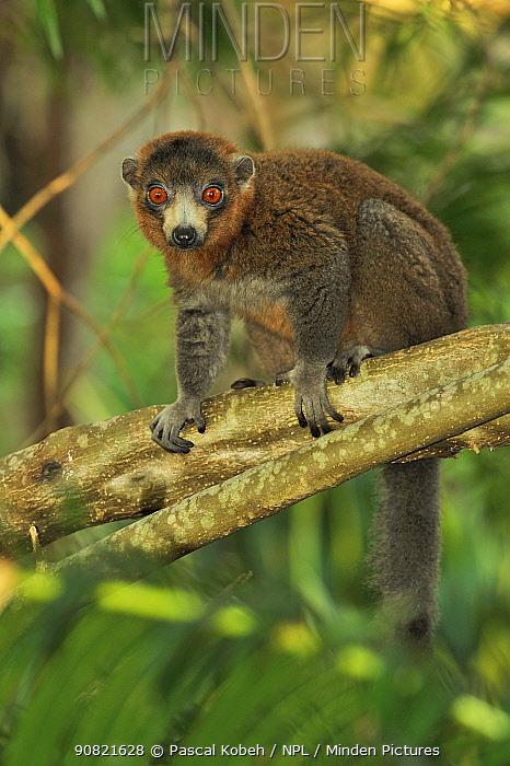 Mongoose lemur (Eulemur Mongoz) sitting on branch. Moheli, Comoros.