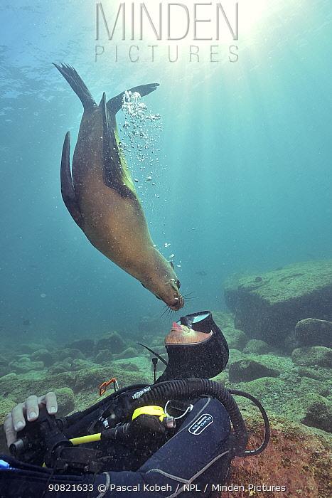 California sea lion (Zalophus californianus) investigating diver. Baja California, Mexico. 2017.