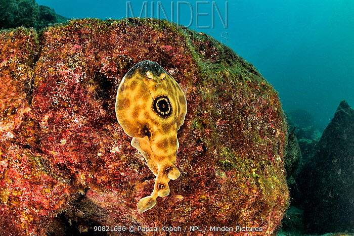 Bullseye electric ray (Diplobatis ommata) on reef. Baja California, Mexico.