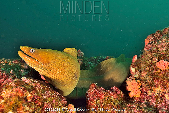 Finespotted moray (Gymnothorax dovii) in reef. Baja California, Mexico.