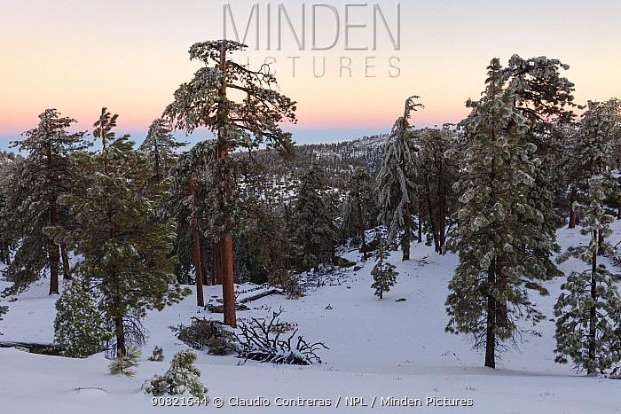Pine (Pinus sp) forest at dawn. Sierra de San Pedro Martir National Park, Baja California Peninsula, Mexico. December 2009.