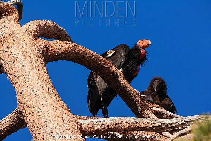 California condor (Gymnogyps californianus), two peched in tree, adult and juvenile. California condor recovery program, Sierra de San Pedro Martir National Park, Baja California Peninsula, Mexico.