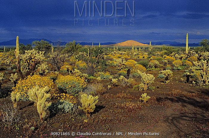 Sonoran Desert with Teddy-bear cholla (Cylindropuntia bigelovii), Saguaro (Carnegiea gigantea) and Brittlebush (Encelia farinosa). El Colorado volcano in background. El Pinacate Biosphere Reserve, northwest Mexico, July.