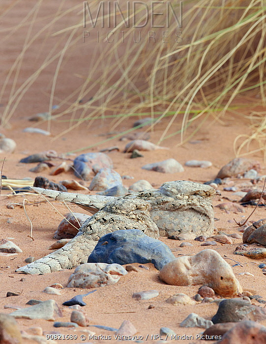 Egyptian nightjar (Caprimulgus aegyptius), two resting on sand, camouflaged amongst pebbles. Morocco. March.