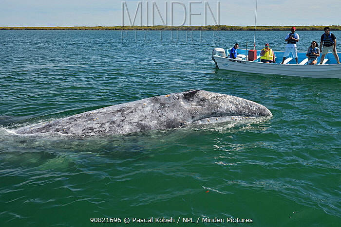 Grey whale (Eschrichtius robustus) surfacing, tourists on boat watching. Baja California, Mexico. 2017.