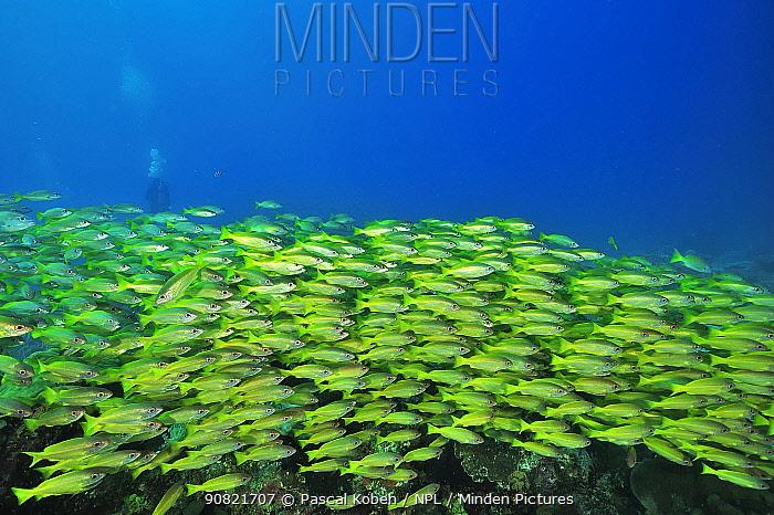 Bigeye snapper (Lutjanus lutjanus) school above coral reef, diver in background. Indian Ocean, Madagascar.