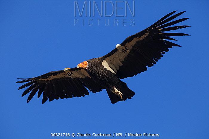 California condor (Gymnogyps californianus) in flight, wings radio tagged. California condor recovery program, Sierra de San Pedro Martir National Park, Baja California Peninsula, Mexico. 2011.