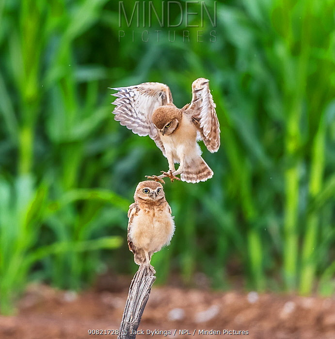 Burrowing owl (Athene cunicularia), two chicks aged one month. Owlet perched on post whilst other lands on head whilst practicing predatory skills. Edge of corn field, Marana, Arizona, USA. June.