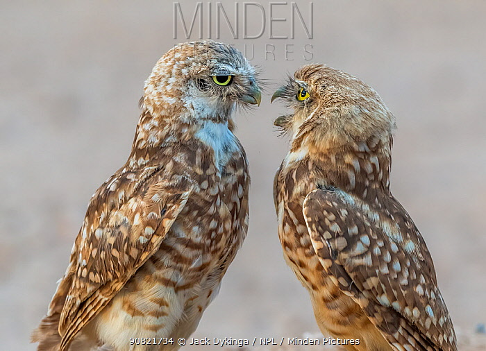 Burrowing owl (Athene cunicularia) parent and fledgling aged 3.5 months. Adult pressing adolescent to leave. Marana, Arizona, USA. August.