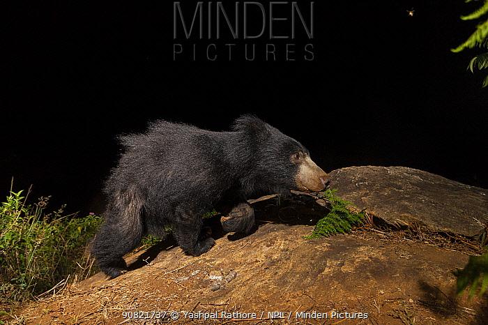 Sloth bear (Melursus ursinus) sub-adult walking on rock. Nilgiri Biosphere Reserve, India. Camera trap image.