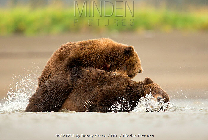 Grizzly bears (Ursus arctos) fighting, Lake Clark National Park, Alaska, September