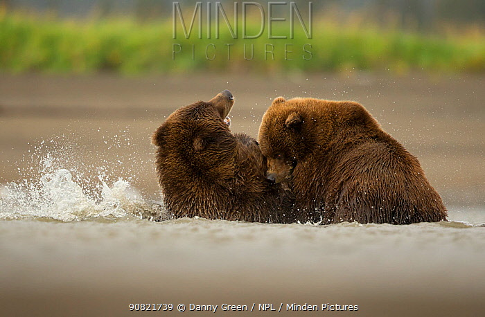 Grizzly bears (Ursus arctos) fighting, Lake Clark National Park, Alaska, September