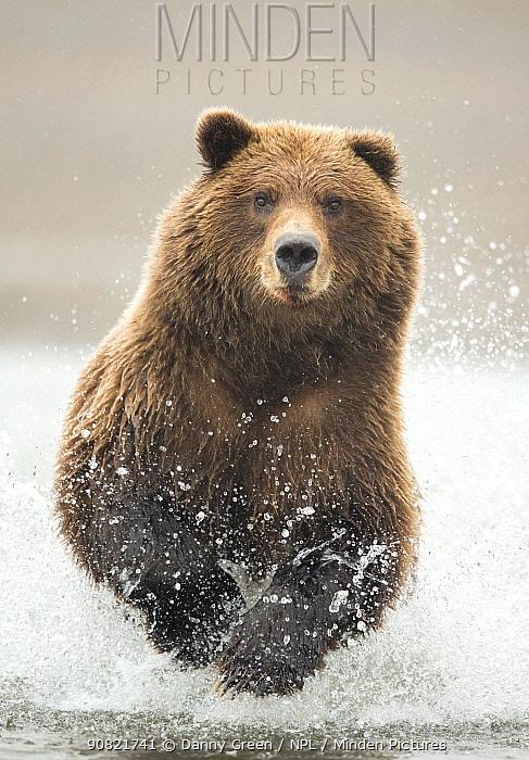 Grizzly bear (Ursus arctos) fishing, Lake Clark National Park, Alaska, September