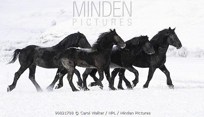 Percheron draft horse, four trotting through snow. February.