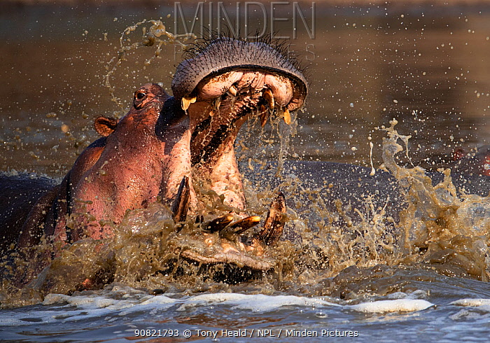 Hippopotamus (Hippopotamus amphibius), aggressive with mouth open, in water. Mana Pools National Park, Zimbabwe.