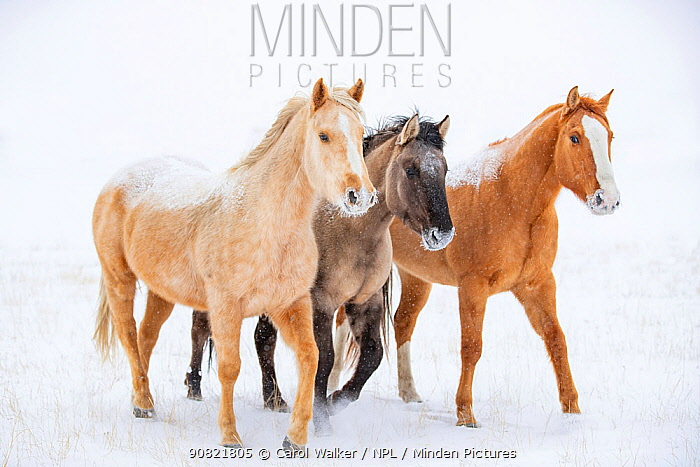 American quarter horse, three standing in snow. Alberta, Canada. February.