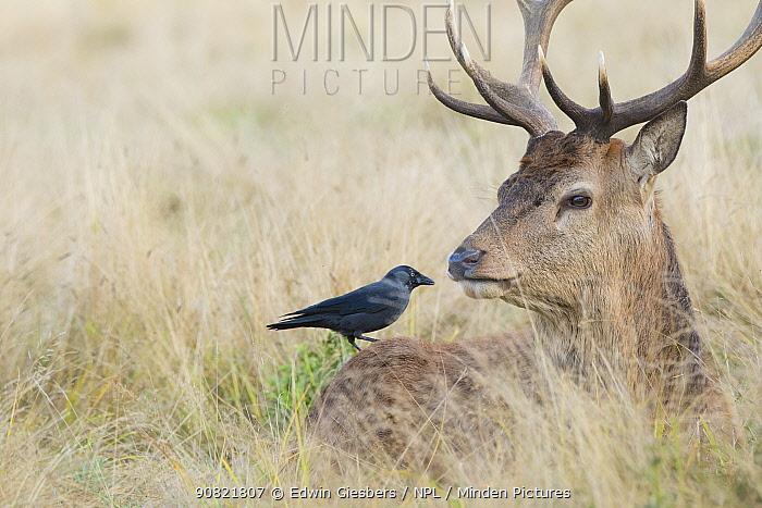 Jackdaw (Corvus monedula) searching for ticks on Red deer (Cervus elaphus) stag resting in grassland.