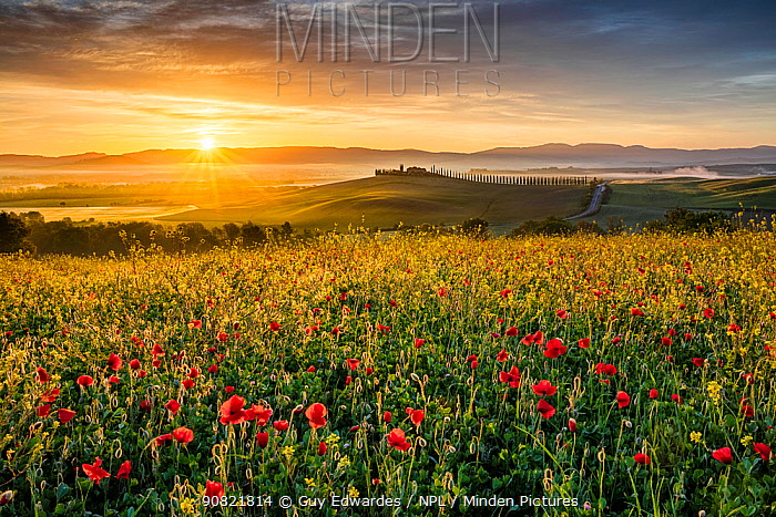 Poppies (Papaver rhoeas) in meadow at sunrise. Val d'Orcia, Tuscany, Italy. May 2019.