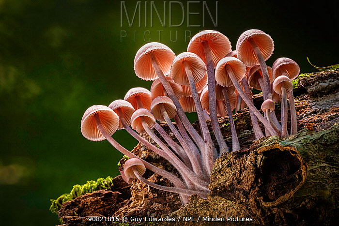 Clustered bonnet (Mycena inclinata). New Forest National Park, Hampshire, England, UK. September.