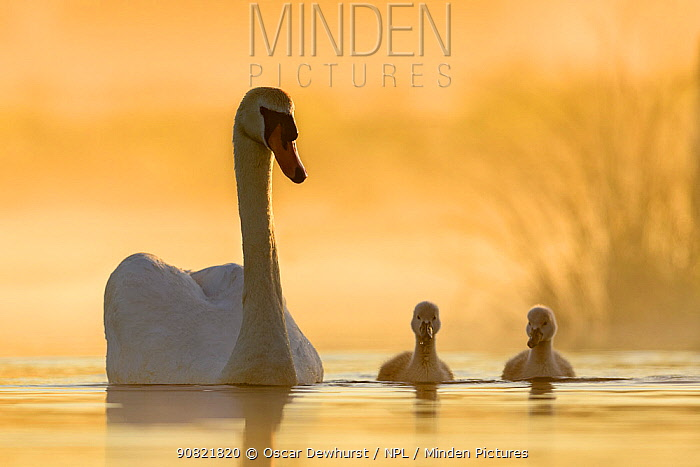 Mute swan (Cygnus olor) swimming with cygnets in misty lake in morning light. Richmond Park, London, England, UK. May. Cropped image.