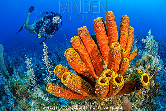 Yellow tube sponge (Aplysina fistularis) on coral reef, diver exploring in background. Black Rock Drop Off, East End, Grand Cayman, Cayman Islands, British West Indies.  Model released.