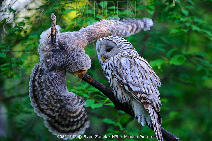Ural owl (Strix uralensis) female watching fledgling attempting to balance on branch. Owlet's first day out of nest. Tartumaa County, Southern Estonia. June.