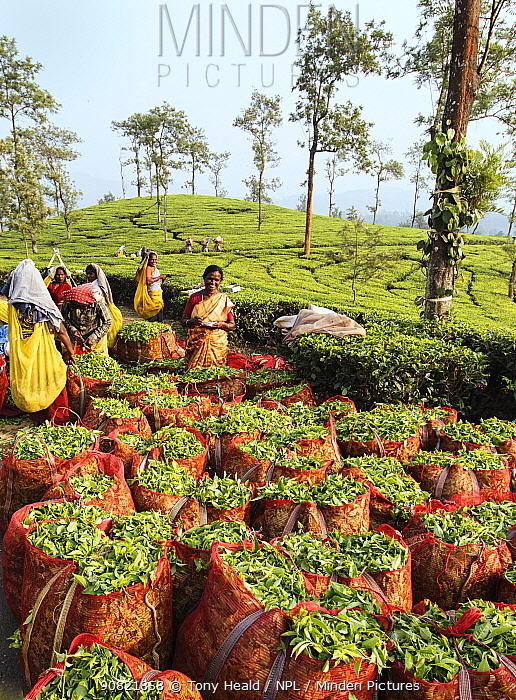 Tea (Camellia sinensis) leaves in sacks, women counting bags and picking in background. Carolyn Tea Estate, Mango Range, The Nilgiris, Tamil Nadu, India. 2014.