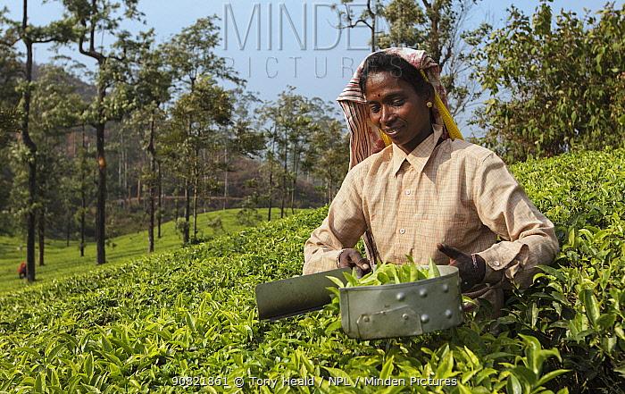 Woman harvesting Tea (Camellia sinensis) with leaf plucking shears, on plantation. Carolyn Tea Estate, Mango Range, The Nilgiris, Tamil Nadu, India. 2014.