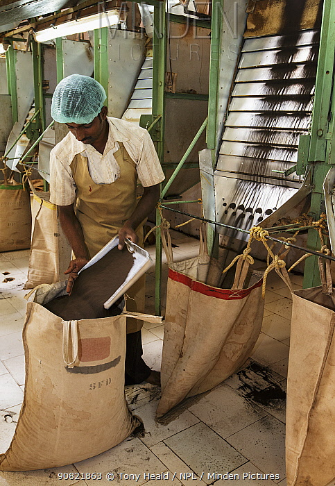 Man working at Tea (Camellia sinensis) leaf grading machine. Carolyn Tea Estate, Mango Range, The Nilgiris, Tamil Nadu, India. 2014.