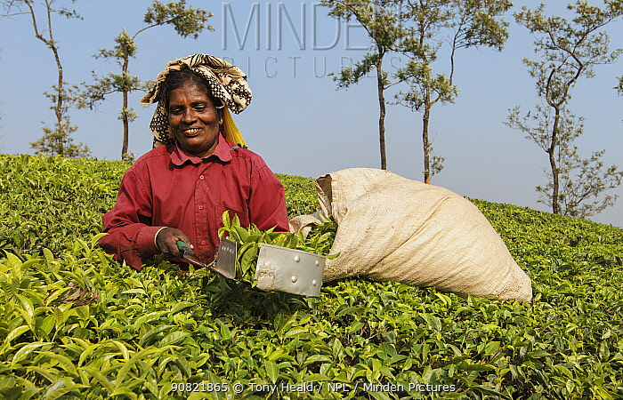 Woman harvesting Tea (Camellia sinensis) with leaf plucking shears. Carolyn Tea Estate, Mango Range, The Nilgiris, Tamil Nadu, India. 2014.